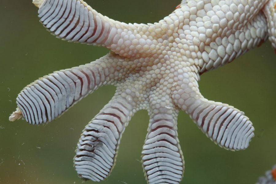 gecko C9